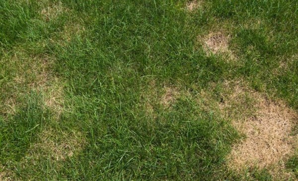 Chinch-bugs-can-create-problems-for-the-lawn